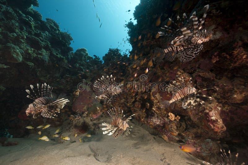 Lionfish et océan photographie stock