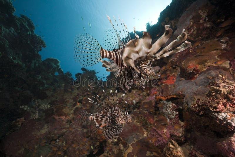 Lionfish et océan images stock