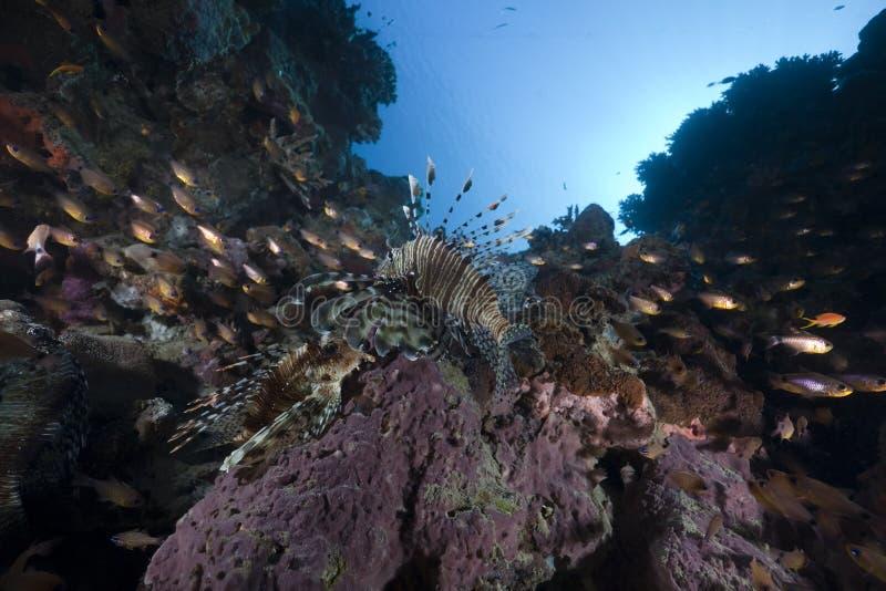 Lionfish et océan photo libre de droits