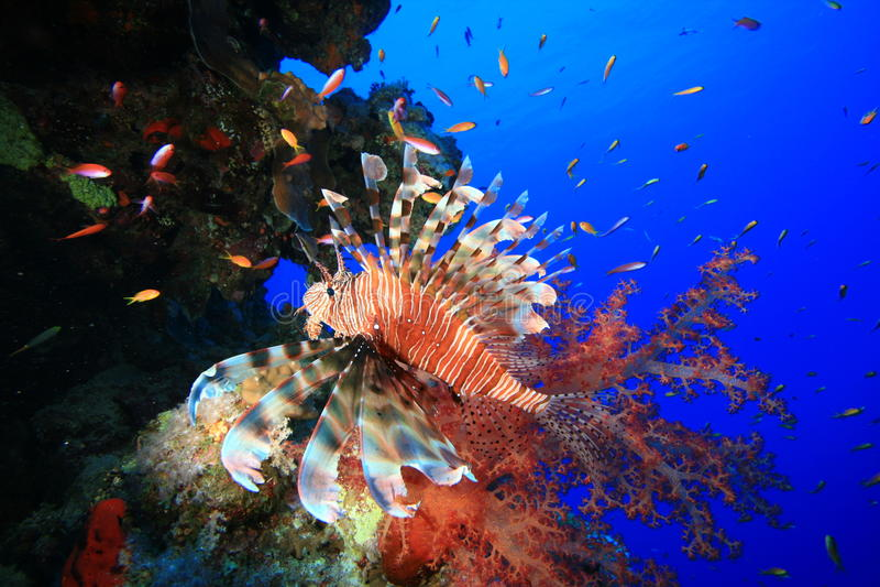 Lionfish et récif coralien photo libre de droits
