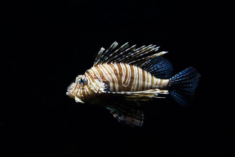 Lionfish Fire Fish Free Public Domain Cc0 Image
