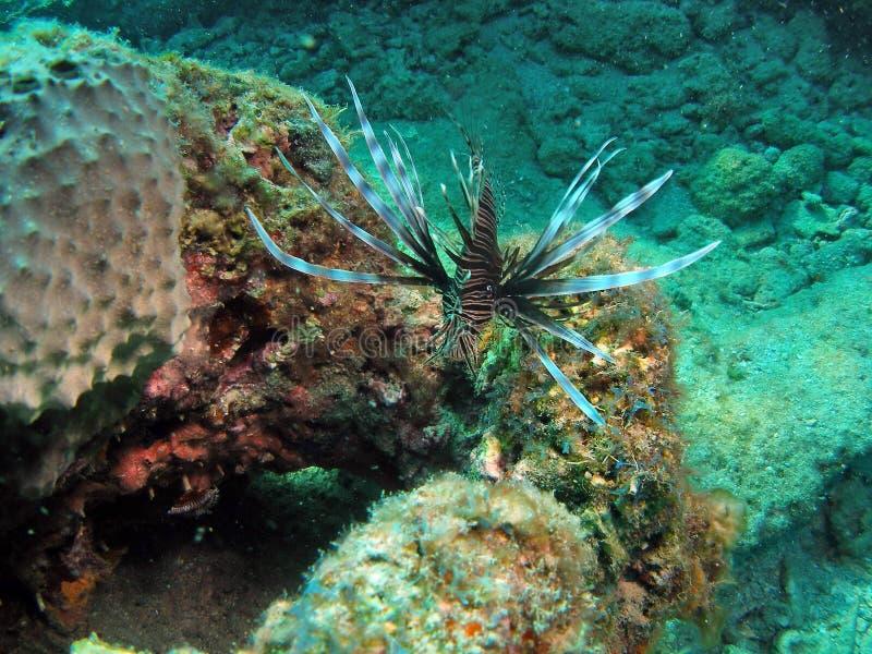 lionfish florida стоковое изображение