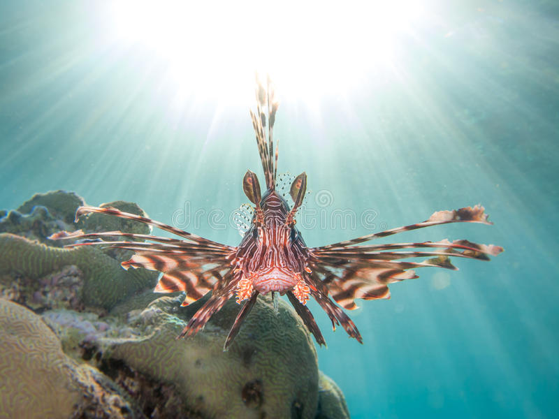 Lionfish in front of sun flare. Lionfish frontal shot with sun flare in blue / green water stock image