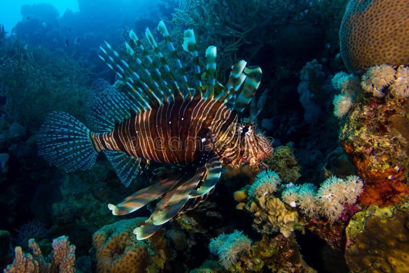 Lionfish in het rode overzees in Egypte stock foto