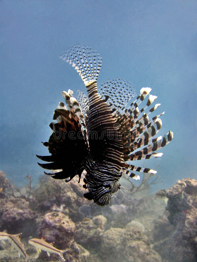 Lionfish Hovering. Hovering vertically in midwater. Mabul Island, Malaysia stock images