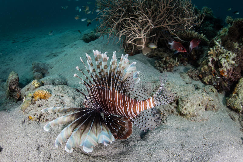 Lionfish Hunting on Seafloor. A large Lionfish hunts small fish on the seafloor of Komodo National Park, Indonesia. This region is known for its spectacular royalty free stock photos