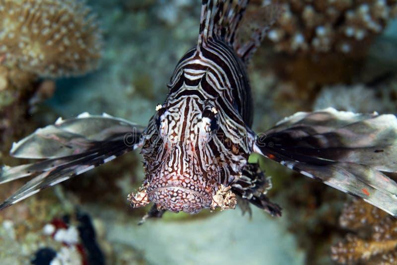 Lionfish i det röda havet. arkivbilder