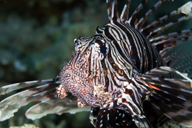 Lionfish i det röda havet. royaltyfria bilder