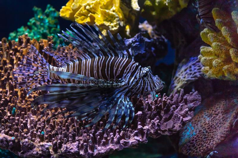 Lionfish invasion in the Caribbean royalty free stock photos