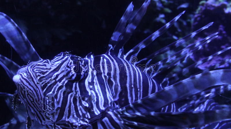 Lionfish looking a bit blue. royalty free stock images