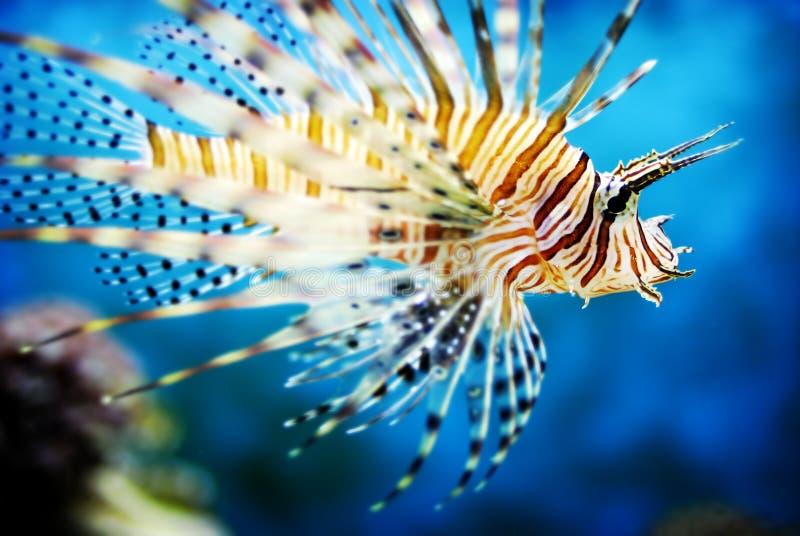 Lionfish macchiato dell'aletta fotografie stock libere da diritti