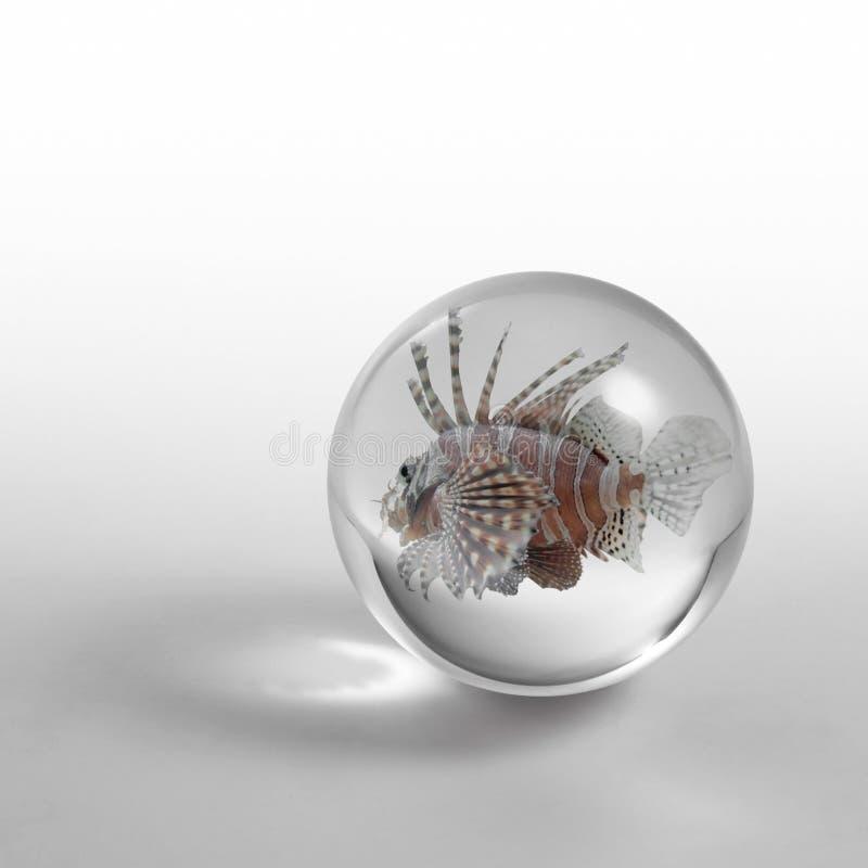 Lionfish na bola de cristal imagem de stock royalty free