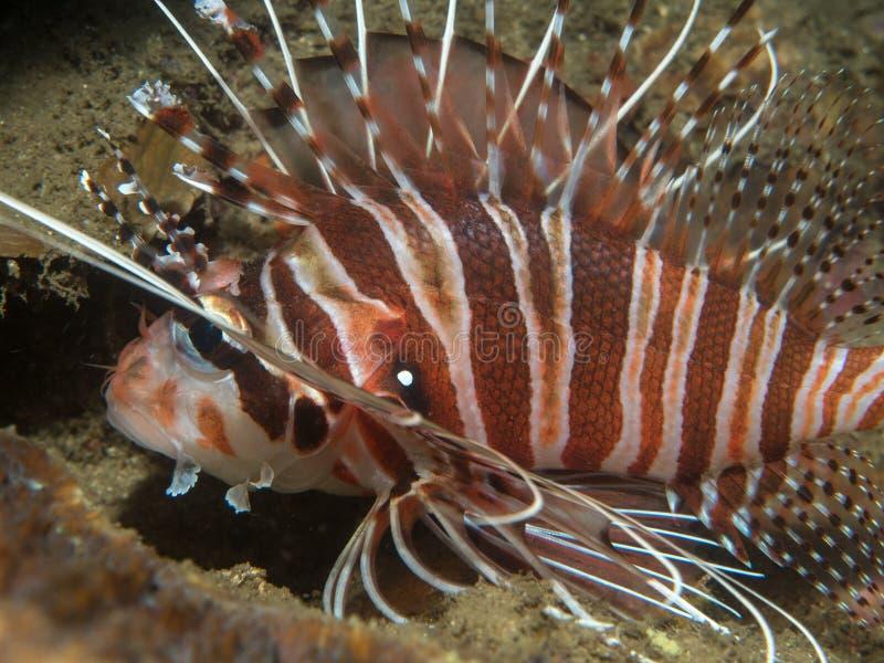 Lionfish no coral foto de stock
