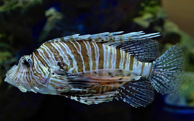 Lionfish no Kogalym Oceanarium em Sibéria ocidental imagem de stock royalty free