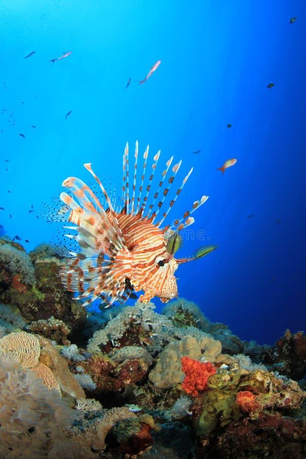 Lionfish no recife coral foto de stock royalty free