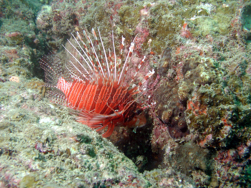 Lionfish no recife coral fotos de stock royalty free