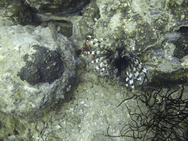 Lionfish no recife coral imagens de stock