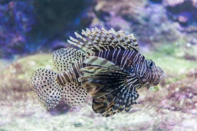 Lionfish o Pterois fotografia stock