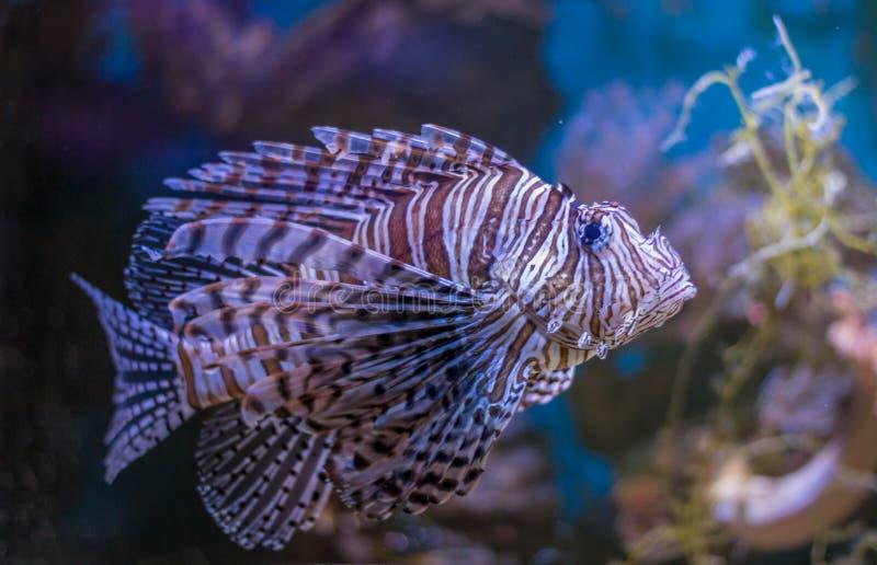 Lionfish o volitans rojos del Pterois Pescados hermosos del león en acuario acuático del agua del mar profundo con el arrecife de imagenes de archivo