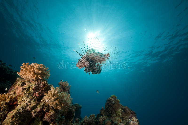 Download Lionfish and ocean. stock image. Image of colorful, reef - 17522477