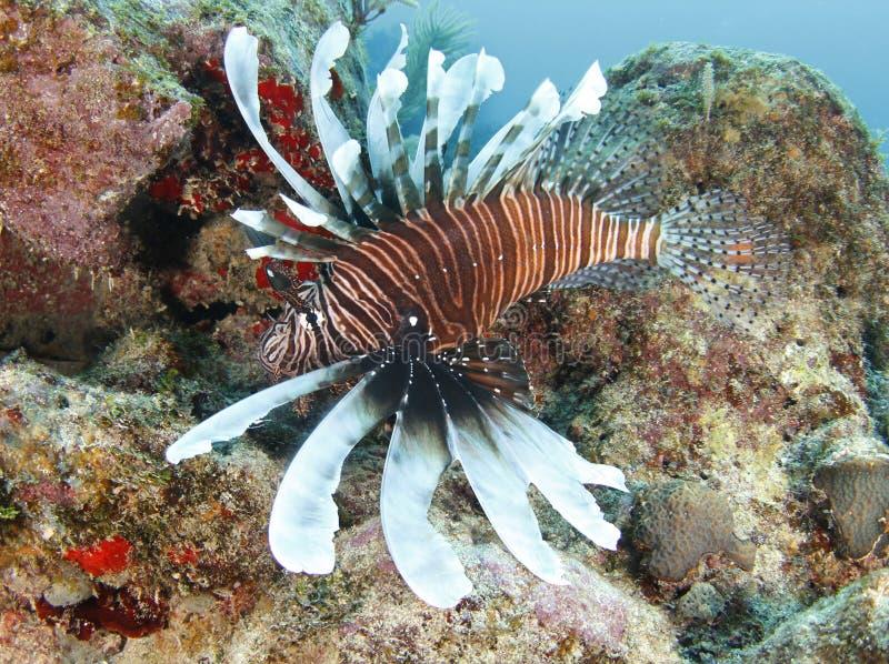 Lionfish oder Teufel firefish, roatan, Honduras stockbild