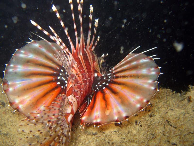 Lionfish op een wrak stock foto