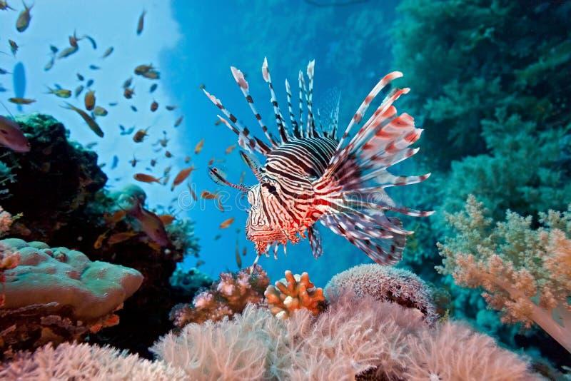 Lionfish op het koraalrif royalty-vrije stock foto's