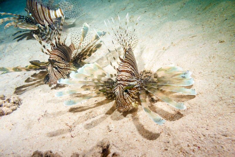Lionfish på en nattjakt royaltyfri bild