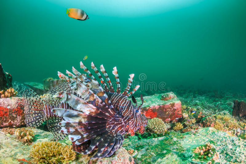Lionfish pendant une efflorescence de phytoplancton photographie stock