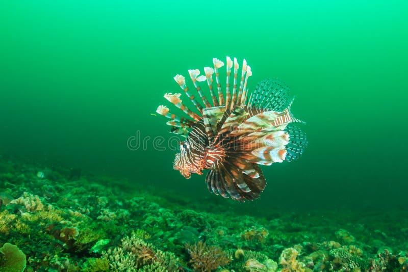 Lionfish pendant une efflorescence de phytoplancton image stock