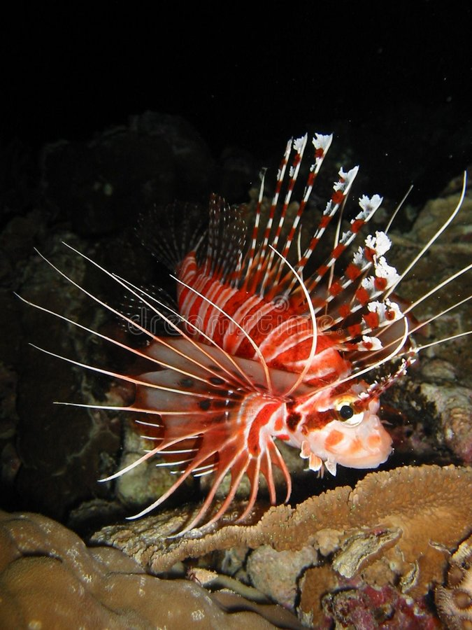 Download Lionfish On The Prowl stock image. Image of spiny, dangerous - 8772461