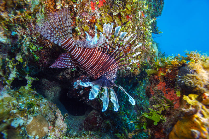 Lionfish (Pterois) obrazy royalty free