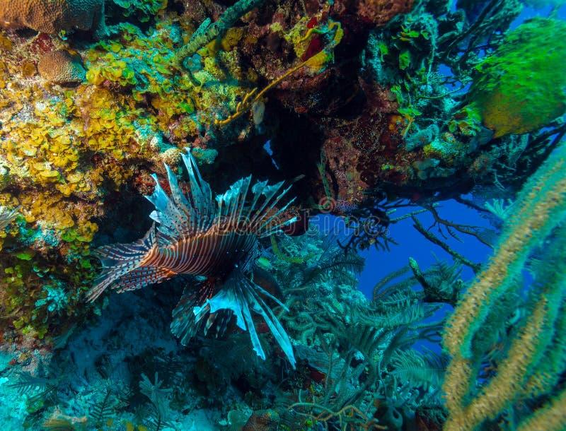Lionfish & x28; Pterois& x29; blisko korala, s Cayo Largo, Kuba zdjęcia royalty free