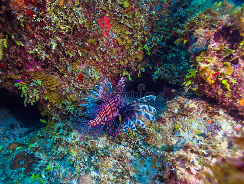 Lionfish & x28; Pterois& x29; blisko korala, s Cayo Largo, Kuba obrazy royalty free