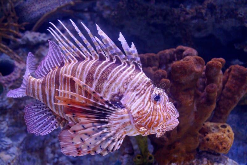 lionfish pterois czerwieni volitans Pterois volitans Czerwona lionfish Pterois volitans akwarium ryba fotografia royalty free