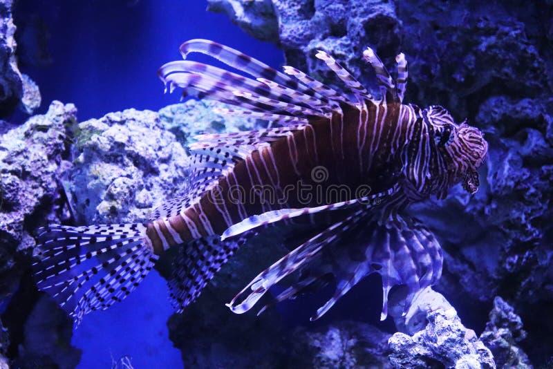 Lionfish fotografia royalty free