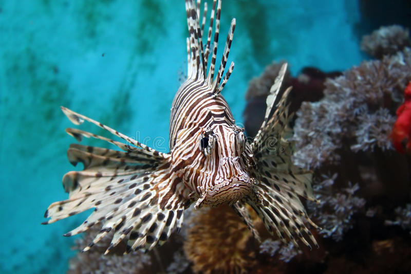 Lionfish (Pterois mombasae) royalty free stock image