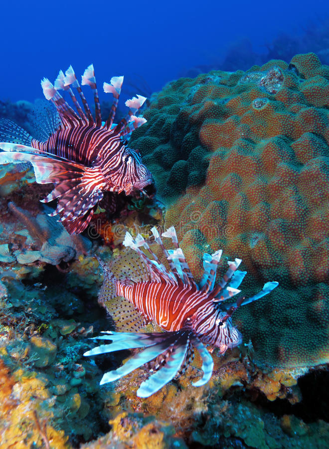 Lionfish (Pterois) nahe Koralle, Cayo largo lizenzfreies stockfoto