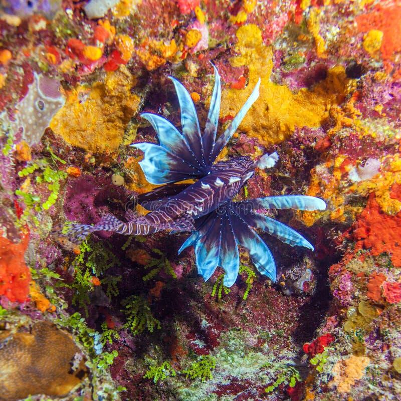 Lionfish (Pterois) nahe Koralle, Cayo largo lizenzfreie stockfotografie