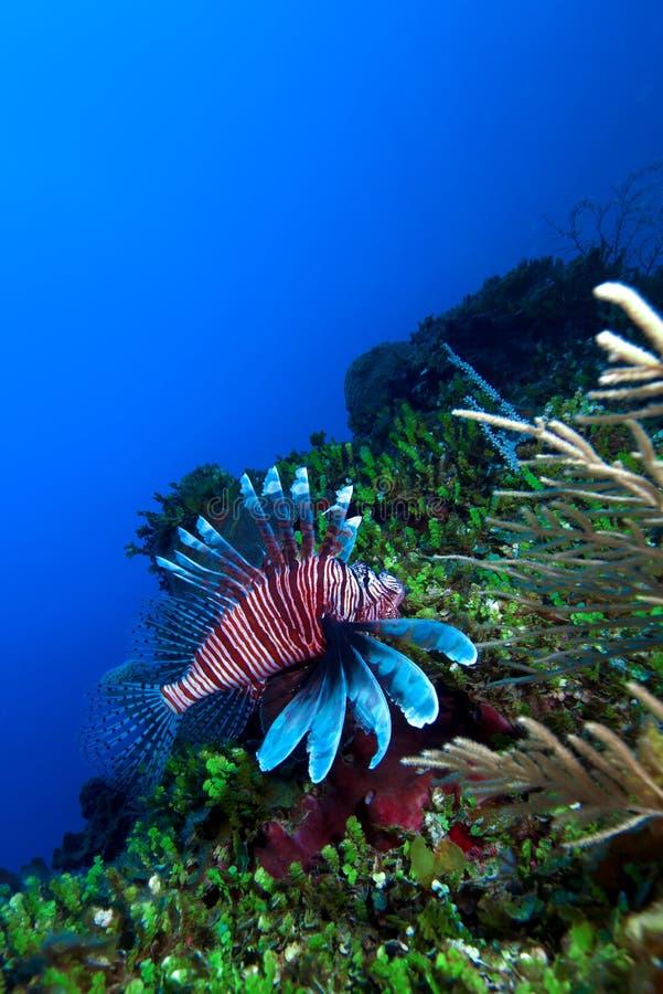 Lionfish (Pterois) nahe Koralle, Cayo largo, Kuba stockfotos