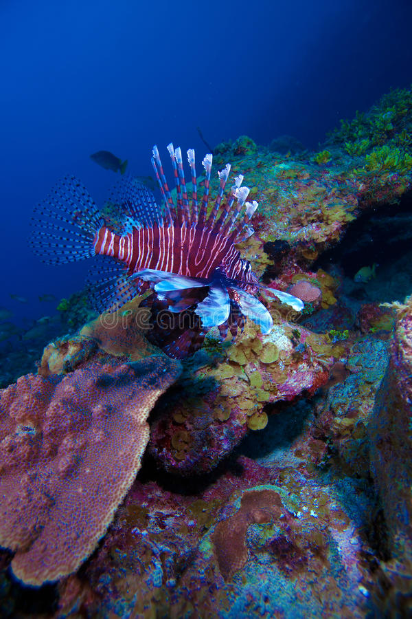Lionfish (Pterois) nahe Koralle, Cayo largo, Kuba stockbild