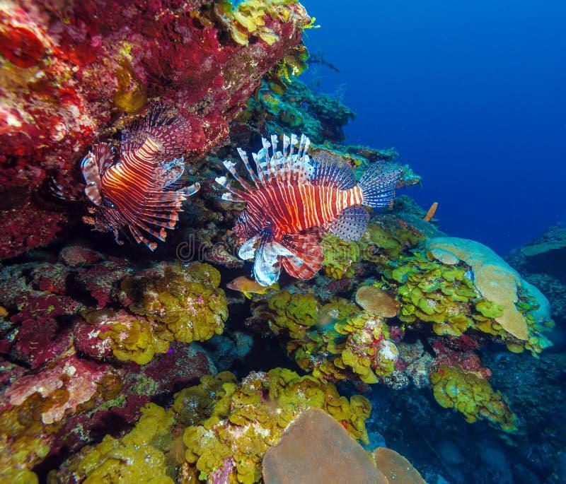 Lionfish Pterois nahe Koralle, s Cayo largo, Kuba lizenzfreies stockfoto
