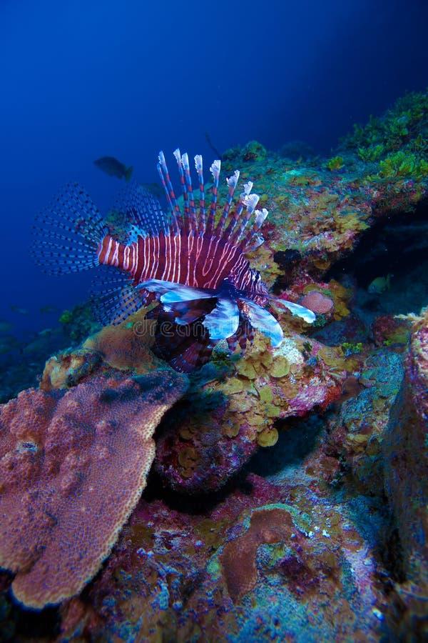 Lionfish (Pterois) perto do coral, Largo de Cayo, Cuba imagem de stock
