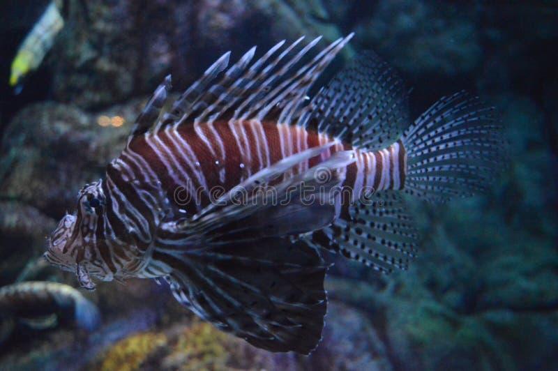 Lionfish, Pterois, venomous marine fish in aquarium stock photos