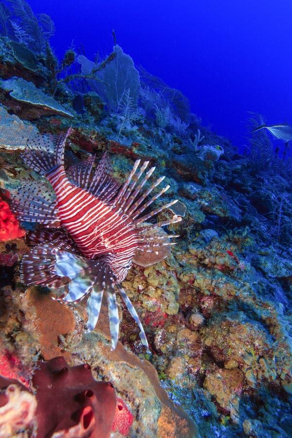 Lionfish (Pterois) vicino a corallo, largo di Cayo, fotografie stock libere da diritti