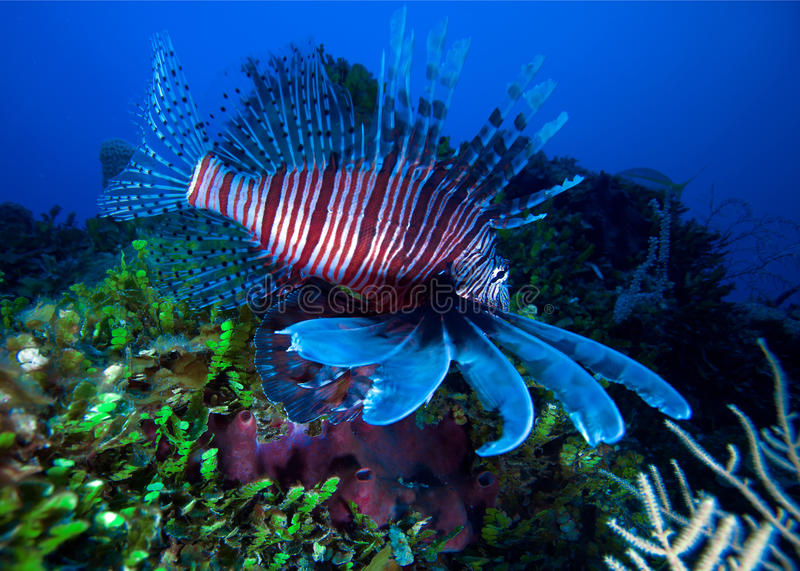 Lionfish (Pterois) vicino a corallo, Largo di Cayo, Cuba immagini stock