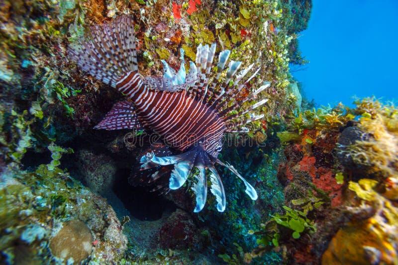 Lionfish (Pterois) vicino a corallo, Largo di Cayo, Cuba immagini stock libere da diritti