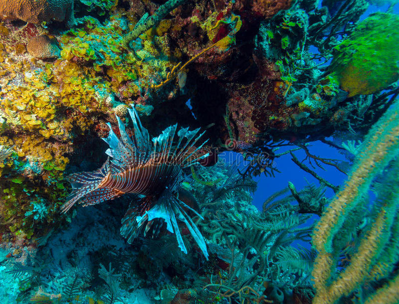 Lionfish & x28; Pterois& x29; vicino a corallo, largo di s Cayo, Cuba fotografie stock libere da diritti