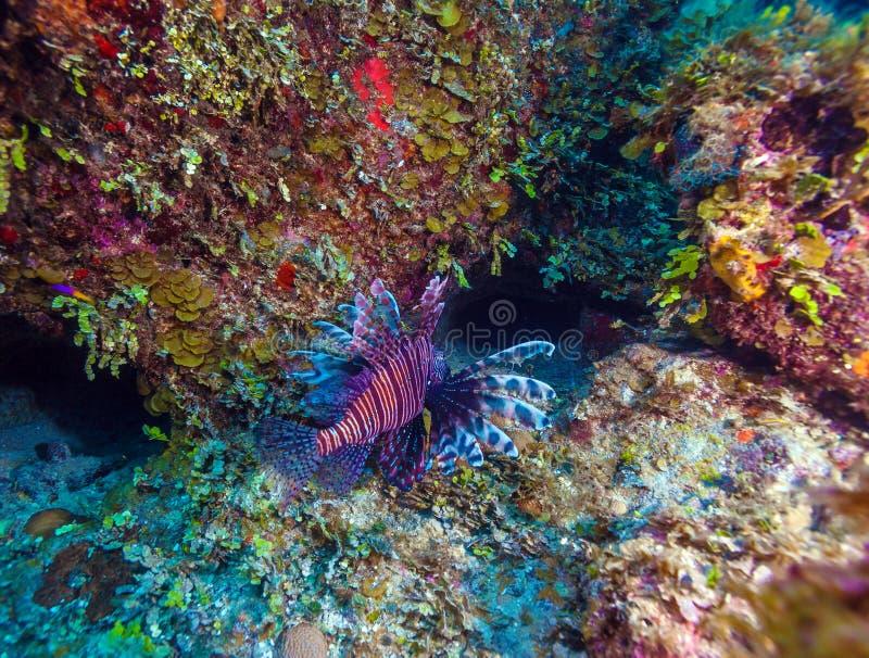 Lionfish & x28; Pterois& x29; vicino a corallo, largo di s Cayo, Cuba immagini stock libere da diritti
