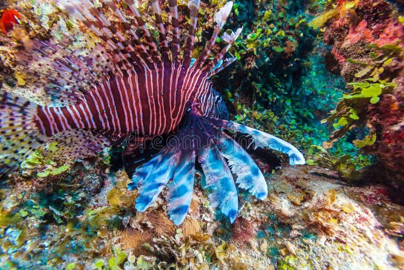 Lionfish & x28; Pterois& x29; vicino a corallo, largo di s Cayo, Cuba fotografia stock